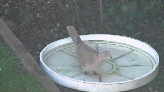 Collared dove has drink 10Mar15 Cambridge UK 1158a