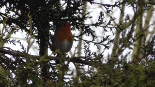 English Robin singing  23feb15 Cambridge UK 207p