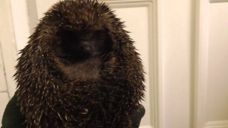 Female Hedgehog 1yellow wants hugs   14Sep14 Cambridge  UK 112a