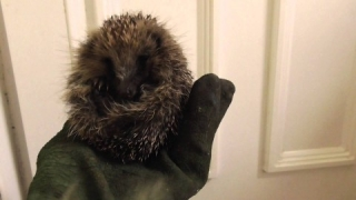 3rd baby hedgehog 9Aug15 Cambridge UK 151a