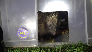 hedgehog  in box  13Sep14 Cambridge UK 0027a