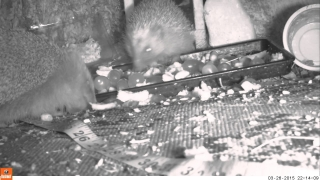 3 Hedgehogs eat 26mar15 Cambridge UK 1014p