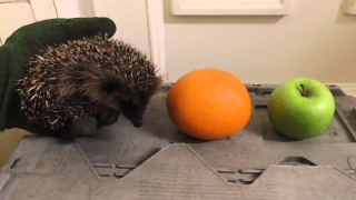 Baby Hedgehog compared to fruit 8Sep14 Cambridge UK 1058p